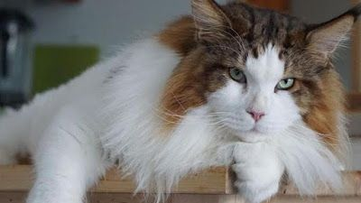 Belle Notizie: Sansone, il gatto gigante che non ha rivali!