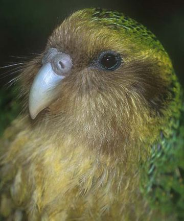 Researchers have found that kakapo may be able to pollinate wood rose, an endemic New Zealand plant.