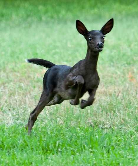 The spectacular shot of a melanistic fawn was taken in the Northwest Hills of Austin, Texas, by renowned photographer R.M.Buquoi. Though rare anywhere, the area around Austin is a hot spot of sorts for melanistic White-tail deer… and their tails do seem to retain their characteristic white undersides.