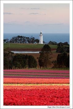 Tulip Fields, Wynyard, Tasmania, Australia