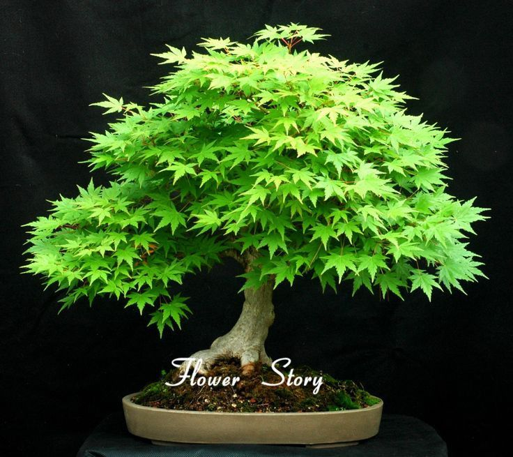 Rare Blue Maple Seeds Bonsai Tree Plants Pot Suit for DIY Home Garden  Japanese Maple Seeds