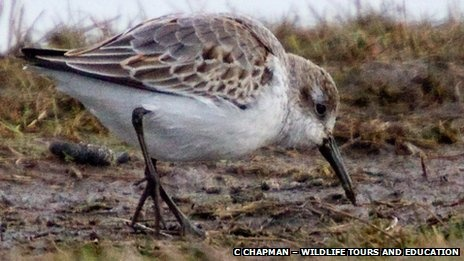 Cley Marshes: Western sandpiper at Norfolk Wildlife Trust reserve