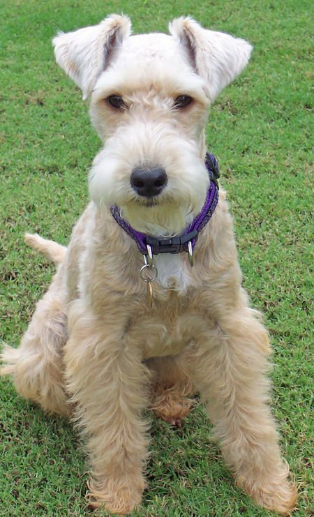 Emmy the Lakeland Terrier