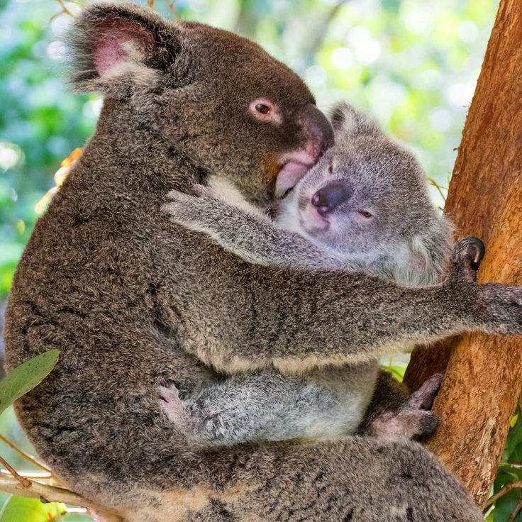 I get SO excited when I see a koala with a baby  nothing cuter than this little guy giving their mama a great bit hug before settling in for their next nap!  @hartleyscrocodileadventures #exploreTNQ #thisisqueensland #seeaustralia