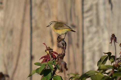 Yellow-rumped Thornbill #Acanthiza #Chrysorrhoa #Butterbum