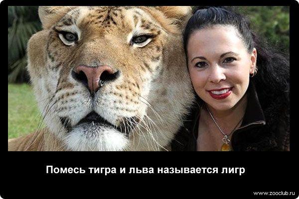 88 фактов о тиграх