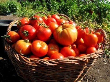 ХОТИТЕ ПОЛУЧАТЬ ПО 2 ВЕДРА ТОМАТОВ С КУСТА?      МОИ СЕКРЕТЫ:   Люблю высокорослые сорта томатов.   Я сажаю по 2 растения, выравнивая верхушки, соединив стебли вместе. Они друг друга поддерживают.   Сажаю в траншейки, что бы полив достиг не на 3 см, а пролить глубиной 30 - 35 см. Тогда корневая система будет формироваться на такой глубине, и не будет подвержена весенним похолоданиям и летней жаре. в верхнем слое почвы. Ведь болезни томатов, в основном, провоцируются резкими пер...