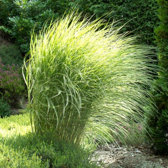 Maiden Grass 'Morning Light', Miscanthus sinensis, is a year-round specimen to behold! Elegant striped blades of green and white emerge in spring and will grow to 4' - 5' tall by summer. Toward the en