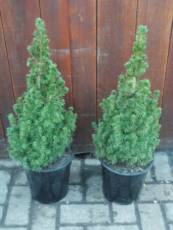 picea glauca conica dwarf alberta spruce bought two of these from costco to put in my urns. Black Bedroom Furniture Sets. Home Design Ideas