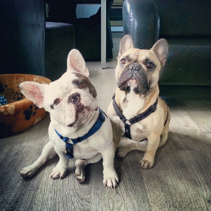 French Bulldogs❤️
