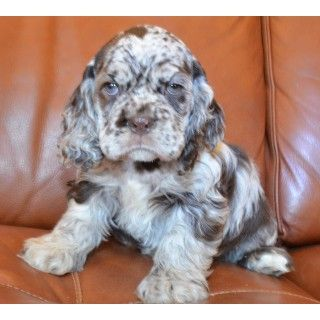 AKC Male Chocolate Merle Cocker Spaniel Puppy For Sale