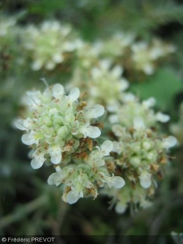 Teucrium polium. Nom commun : Germandrée tomenteuse Petites feuilles persistantes, gris blanchâtre, crénelées, duveteuses. Fleurs blanches. Origine : Bassin méditerranéen.