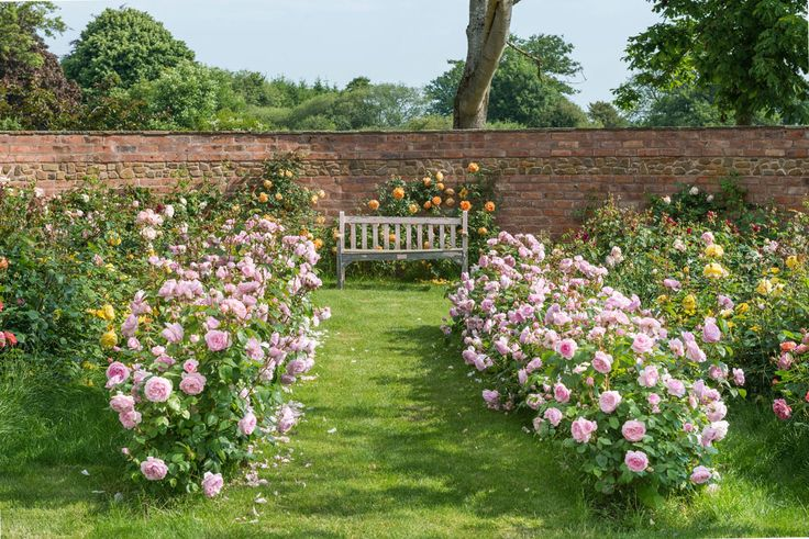 English Rose hedges are particularly valuable in the garden. Unlike most other hedges they will flower profusely. Brug fx The Alnwick Rose eller Olivia Rose Austin som her.