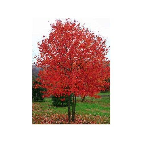 Acer rubrum 'Red Sunset' eladó, Acer rubrum 'Red Sunset' vásárlás, Acer rubrum 'Red Sunset' rendelés
