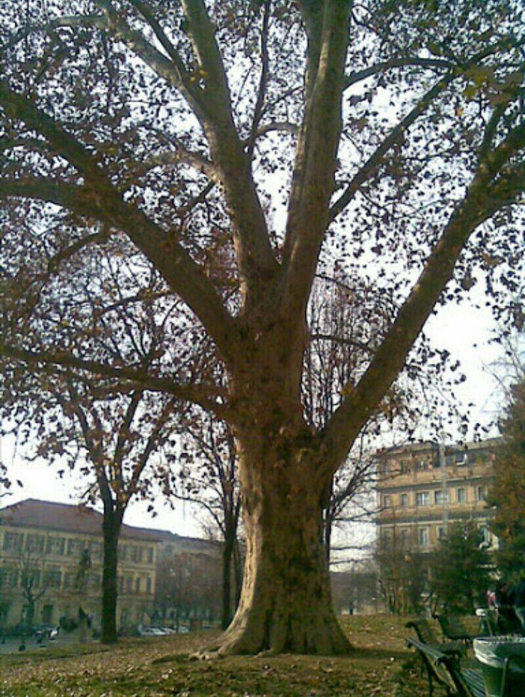 Il Platano di Piazza Cavour, Torino