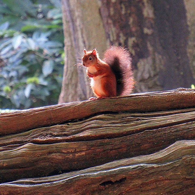 Red squirrel on Brownsea Island from Ali Lansley #bbcweather #weatherpictures #autumn #instaautumn #picoftheday #alexisgreen #southtoday #bbcsouthtoday #bbcnews You can send your weather pictures to us via southweather@bbc.co.uk and view the full gallery at www.facebook.com/BBCSouthToday #redsquirrel #squirrel #brownsea #brownseaisland #poole