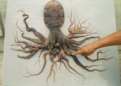 In December 1998, a common octopus was captured in Matoya Bay, Japan, which had a whopping 96 tentacles. The unusual octopus had the normal 8 appendages attached to the body, but each one of those branched out to form the extra tentacles. The specimen survived for five months after its capture, and even laid eggs, which hatched into normal 8 tentacled octopi. Upon its death, the 96-tentacled octopus was preserved and now remains on permanent display at the Shima Marineland Aquarium in Japan.
