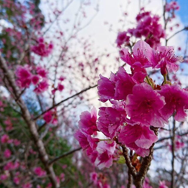 【naka.chiro】さんのInstagramをピンしています。 《#桜祭り #日本一早い #寒緋桜 #濃いピンク #本部町 #八重岳 #両親連れて #親孝行 #flower #cherryblossom  #花祭り #桜 #okinawa #沖縄 #写真好きな人と繋がりたい #カメラ女子 #XPERIAZ5》