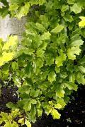 Quercus ilicifolia 'Tromp Ball' (Quercus ilicifolia 'Nana') Dąb niedźwiedzi 'Tromp Ball'