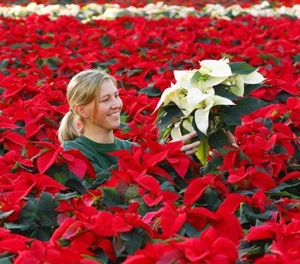 17 Best Images About Plants Poinsettia On Pinterest The