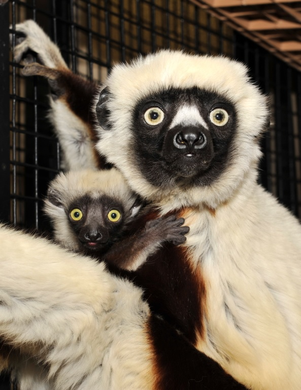 I think the Duke Lemur Center is amazing!  I so want to visit!  Coquerel's Sifaka is so cute!