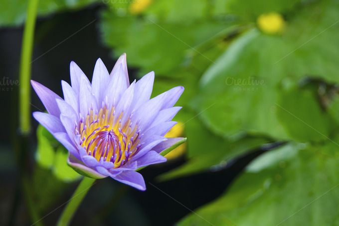 Water lily by NikSorl on Creative Market
