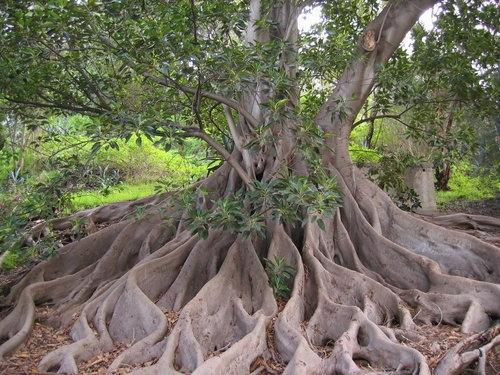 how to grow paw paw trees in australia