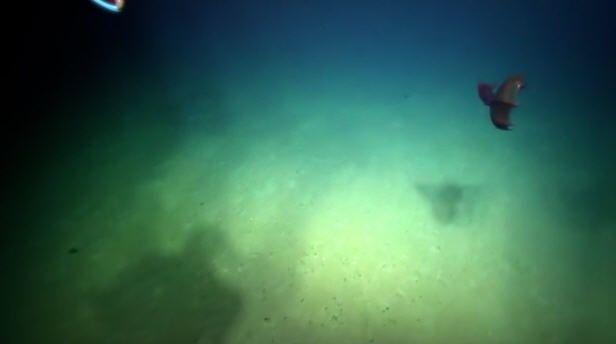 "Deep sea explorers treated to rare Gulf sighting of ""Vampire Squid of Hell"""
