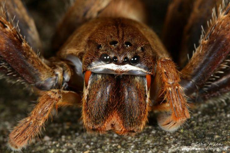 Rain Spider - Palystes superciliosus
