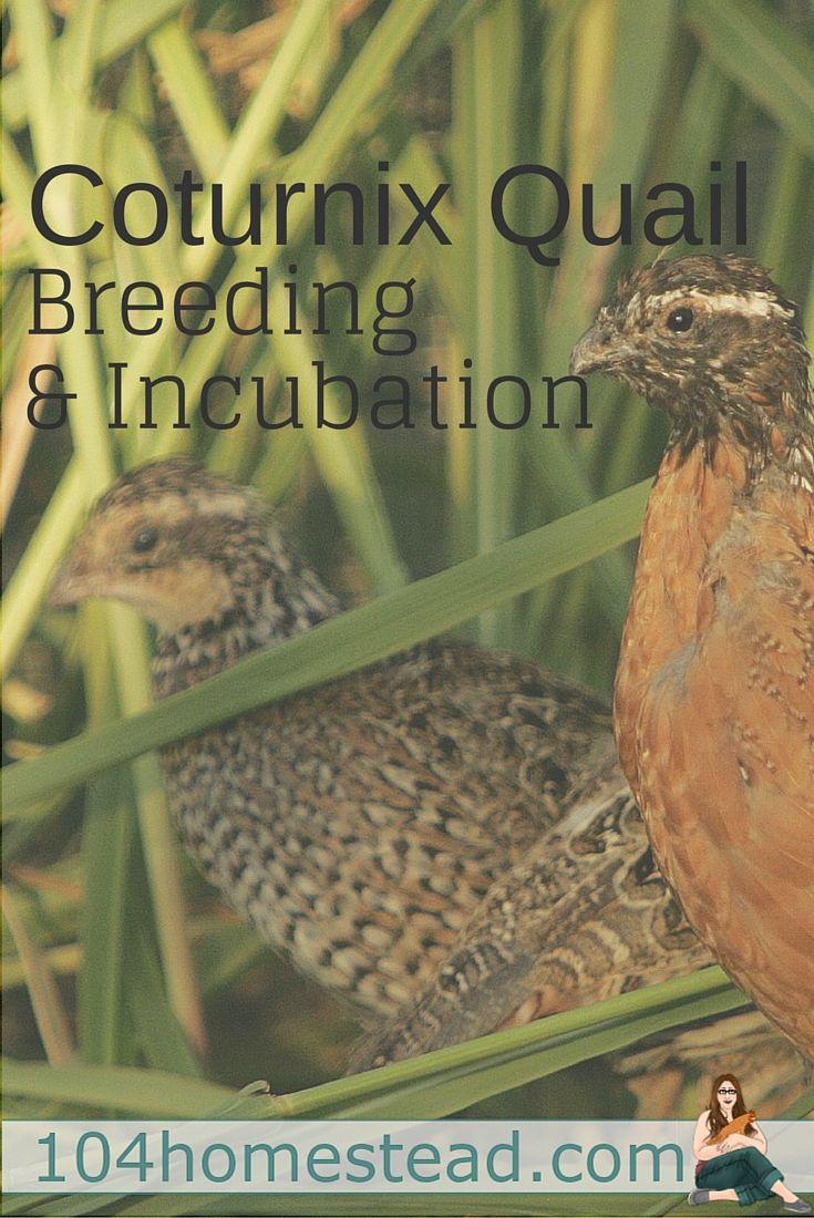 225 best hoenders images on pinterest raising quail keeping