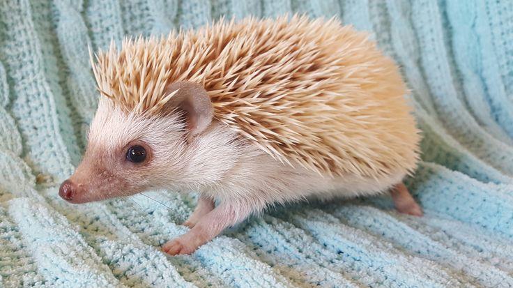 17 Best Ideas About Hedgehog For Sale On Pinterest Pet