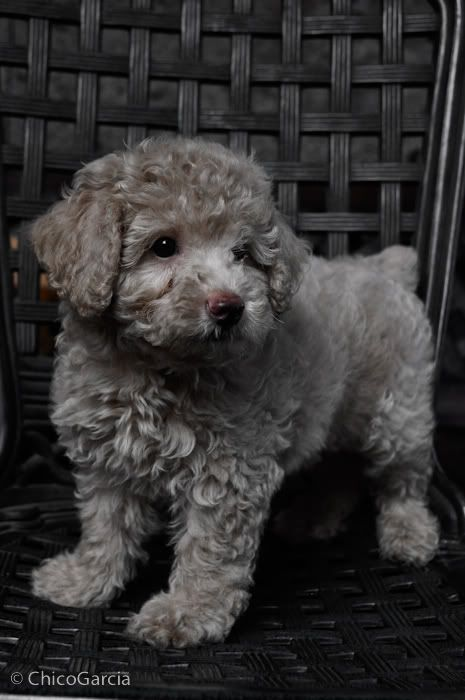 Toy poodle. Don't know what color this would technically be considered, but I adore it!  #dogs #pets