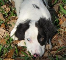 Christy is an adoptable English Setter Dog in Crowley, LA.  Everyone deserves a second chance. Please give me mine. ...