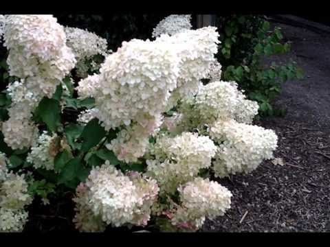 BlueBell Nursery - BlueBell Nursery - Trees & Shrubs - Hydrangea - Hydrangea paniculata 'Phantom'