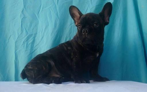 French Bulldog puppy for sale in CHARLESTON, SC  ADN-63536