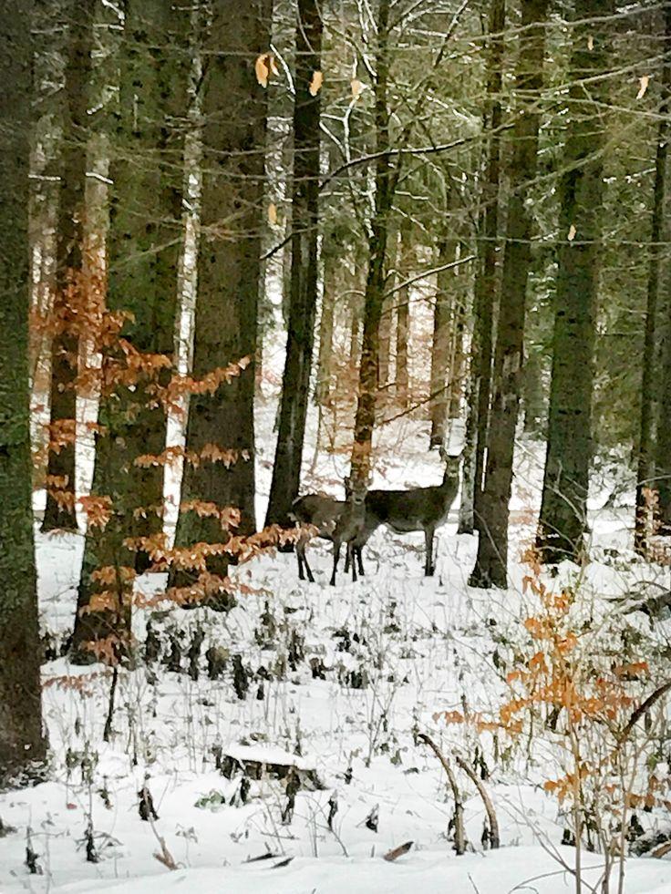 #deer #wildlife #woodland