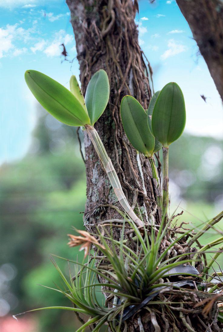 Veja o passo a passo de como plantar orquídeas em árvores Mais do que uma…
