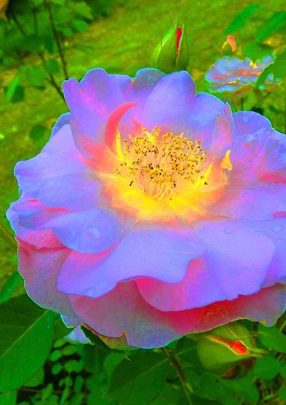Funky Rose Violet & Pink