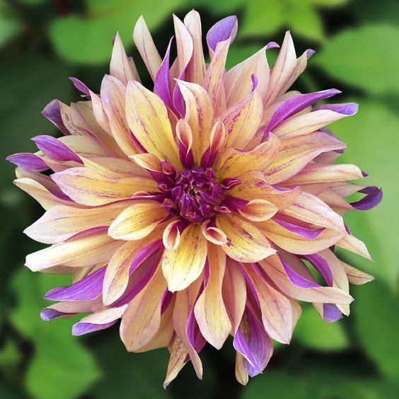 Dahlia 'French Cancan':