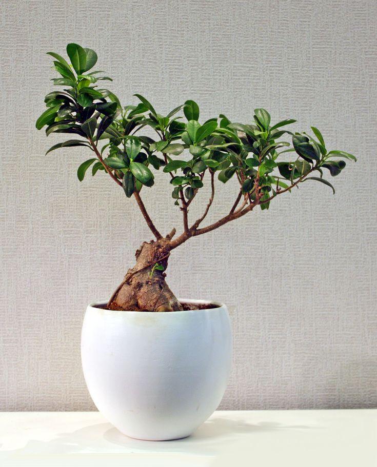 Bonsai σε λευκό ποτ
