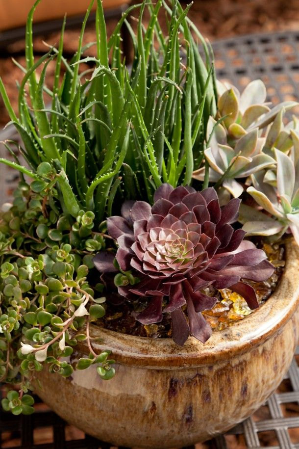 Succulents and aloes provide wonderful, low-care architectural interest, and are great choices for containers. The rosette of a red Aeonium becomes the focal point and a sedum spills out to the side. / Pike Nurseries