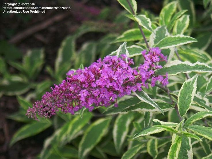 View picture of Butterfly Bush, Summer Lilac, Orange-eye Butterfly Bush 'Monrell' (Buddleja davidii) at Dave's Garden.  All pictures are contributed by our community.