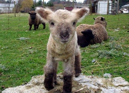 55 best images about Animals Sheep Lambs Goats on ...