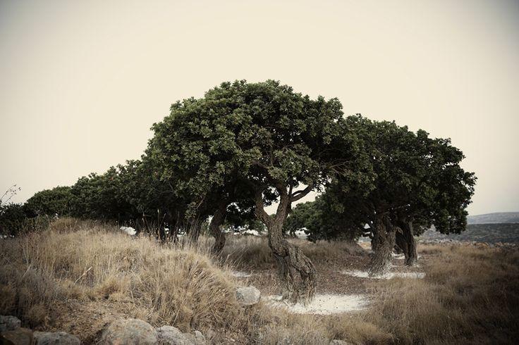 Gallery - Mastiha Tree