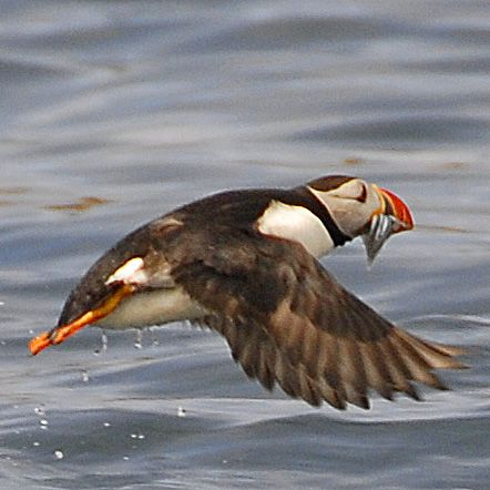 Puffin in the Isles of Scilly