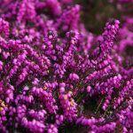 El Viburnum es un arbusto de hoja perenne que florece en primavera. De fácil cultivo y mantenimiento, nos alegrará el jardín durante todo el año.