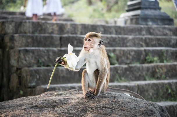 A Toque macaque monkey at the Dambulla Cave temple, Sri Lanka by Simon Vorhammer