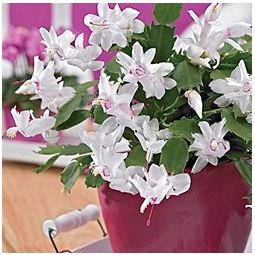 Christmas White Cactus Plant for Sale | Buy Garden Plants Online