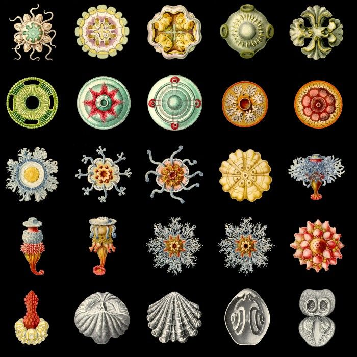 Ernst Haeckel colour illustrations in high-res transparency .png file format