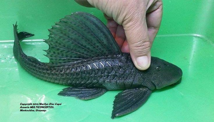 17 mejores ideas sobre peces de agua dulce en pinterest for Peces de agua dulce para peceras